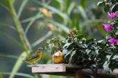 Lemon-rumped tanager next to banana in a garden - birds of Colombia — Stock Photo
