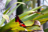 Crimson-backed tanager feeding on banana in green leaves of tropical plant — Stock Photo