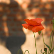 Red poppies and silhouette — Stock Photo #58375571