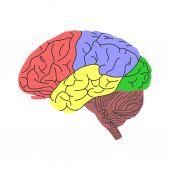 Brain — Stock Vector