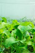Fresh hydroponics vegetables — Stock Photo