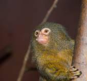 Pigmy Marmoset Monkey — Stock Photo