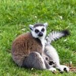 Pleased lemur — Stock Photo #68739889