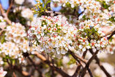 Blackthorn flowers at the spring, Israel — Stock Photo