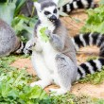 Lemur in the pasture, Ring-tailed Lemur — Stock Photo #69378199