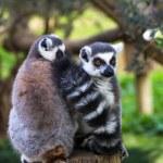 Couple shy lemurs, Ring-tailed Lemur — Stock Photo #69378201