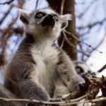 Lemurs on the tree against the blue sky, Ring-tailed Lemur — Stock Photo #69378229