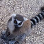 Lemur beggar, Ring-tailed Lemur — Stock Photo #69378231