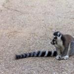 Lemur teenager, Ring-tailed Lemur — Stock Photo #69378235