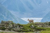 Alpin ibex (mountain goat) on the rocks, mount Blanc, France — Stock Photo