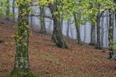 Autumn in the woods, red and orange foliage, with fog, mount Cucco, Apennines, Umbria, Italy — Stockfoto