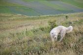 Sheepdog, Piano Grande, Monti Sibillini NP, Umbria, Italy — Stock Photo