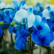 Bouquet of blue orchids — Stock Photo #60745309