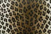Wild leopard pattern background or texture — Stock Photo