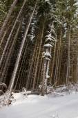 Tall pine trees in the forest. — Stock Photo