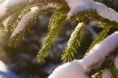 Evergreen branches spruces. — Stock Photo