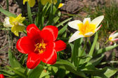 Flores tulipa — Fotografia Stock