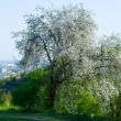 Blossoming fruit tree in a garden. — Stock Photo #72656445
