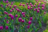 Beautiful purple tulips. — Stock Photo