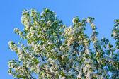 Cherry blossoms. — Stock Photo