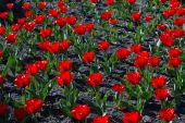 Bright blooming red tulips. — 图库照片
