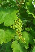 Green grapes — Foto de Stock