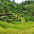 Terrace rice fields — Stock Photo #58354213