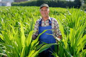 Farmer looking at sweetcorn — Stock Photo