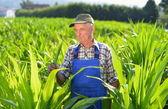 Organic Farmer looking at sweetcorn in a field. — Stock Photo