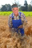 Organic farmer workingn a wheat field and looking at the crop — Stock Photo
