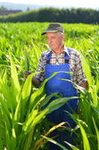 Organic Farmer looking at sweetcorn in a field. — Stock Photo