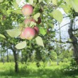 Some apples on a tree with leaf — Stock Photo #65217583