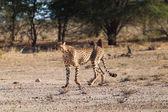 Gepard štíhlý — Stock fotografie