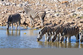 Zebras drinking — Stock Photo