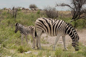 Zebra with baby — Stock Photo