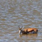 Springbok drinking — Stock Photo #71164453