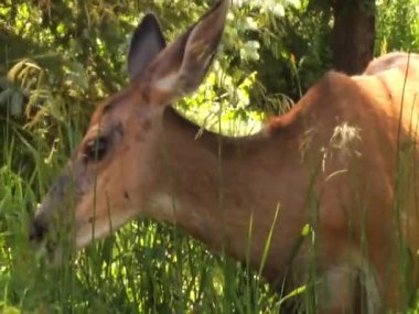 Deer Eating Grass and Leaves — Stock Video