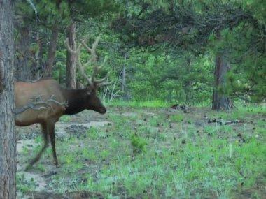 ElkintheRockyMountains Colorado — Stock video
