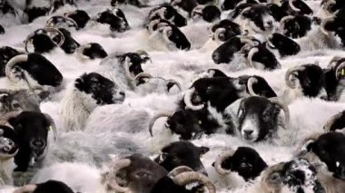 Sheep Crammed In Pen — Stock Video