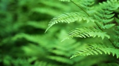 Ferns Shallow Focus Loop — 图库视频影像