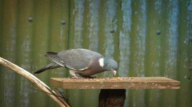 Pigeon Eats Grain Off Bird Table — Stock Video