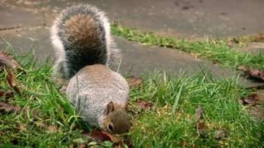 Squirrel Eating Seeds In The Grass — Vídeo Stock