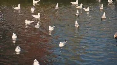 Ducks Startle Seagulls In Water — Stock Video