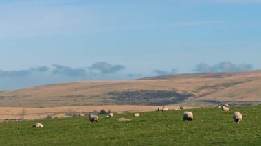 Sheep Grazing In Hilly Landscape — Stock Video