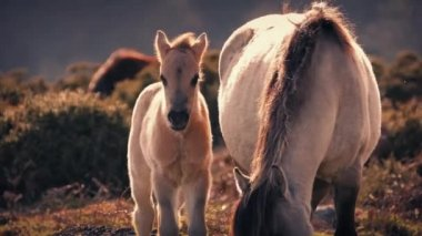 Horse Foal Next To Mother At Sunset — Wideo stockowe