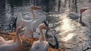 Pelicans Swim And Stand By The Water — Stock Video