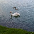 Swan and ducks — Stock Photo #57850385