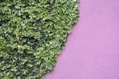 Ivy on the wall — Stock Photo