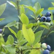 Blueberry branch — Stock Photo #58382159