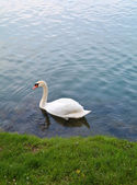 Swan and water ripple — Stock Photo